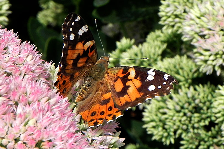 Painted Lady Butterfly with open wings.