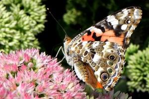 Painted Lady Butterfly in West Fenwick