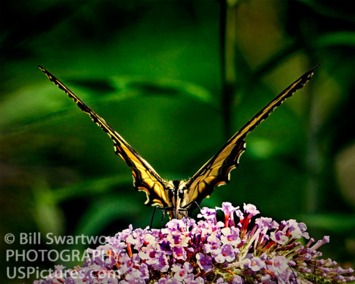 Victory Butterfly Art Photograph