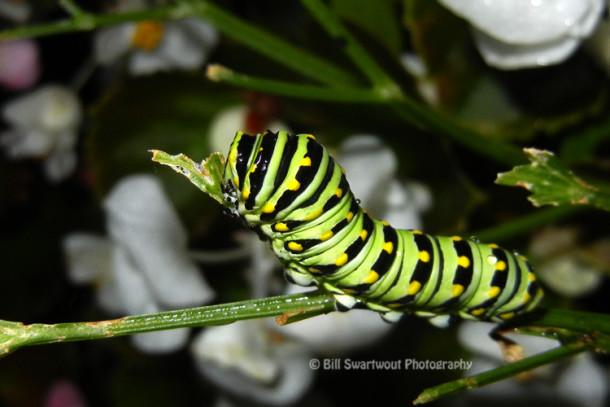 Caterpillar Camouflage